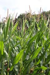 Feld mit Maispflanzen