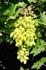 bunch of white grape