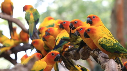 Cute Sun Conure parrot bird group on tree branch, HD Clip