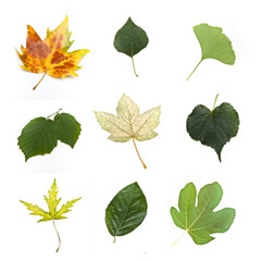Isolated leaves of various tress on white background