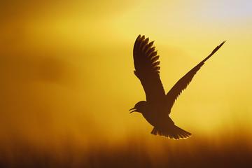A flying black-headed gull.  Backlight.