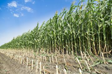 Corn maize green stems unripe on field