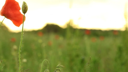 Red common poppy flower wildflower on green meadow.
