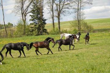 Pferd galoppiert auf der Wiese