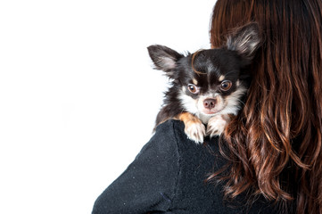 Chihuahua climbing on woman's shoulder