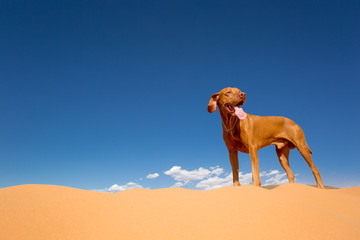 dog standing in desert