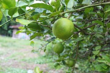 Lemons oval citrus fruit