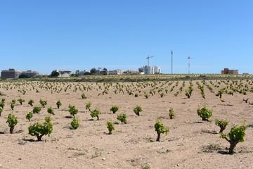 Vineyard near  town of Torrevieja.