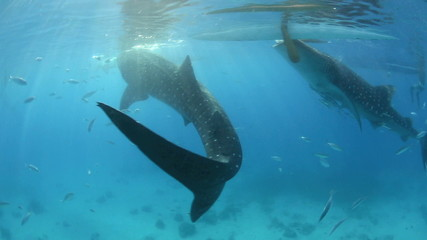 Whale sharks underwater being fed krill