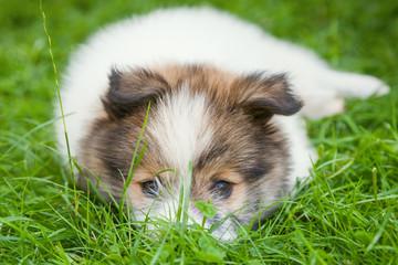 süßer Elo Welpe im Gras