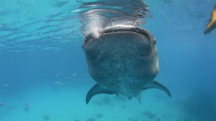Whale shark filter feeding underwater