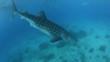 Whale shark diving underwater towards ocean floor