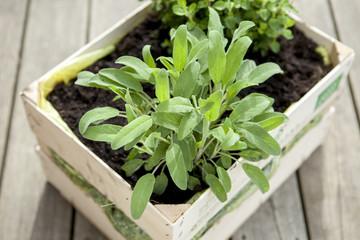Plant of Sage