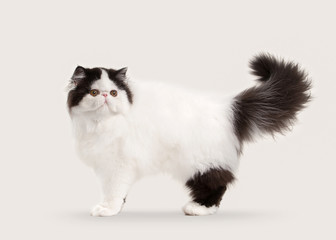 small persian kitten on white background
