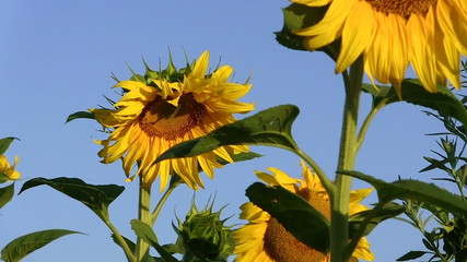 Field with sunflowers.  close up panorama