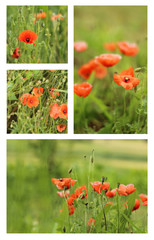 Beautiful red poppies on the meadow