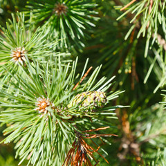 green sprigs of pine tree close up
