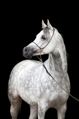 White horse portrait on black background