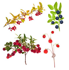 four branches with forest berries on white
