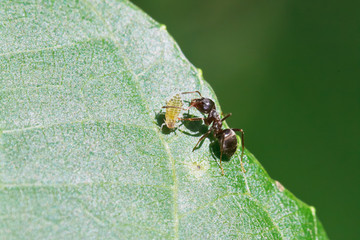 ant grazing one aphid on leaf of walnut tree