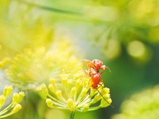 two soldier beetles in garden grass