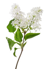 isolated pure white lilac branch wirh leaves