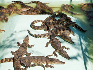 many young crocodiles on Crocodile Farm