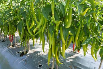 Hot pepper fruiting plant