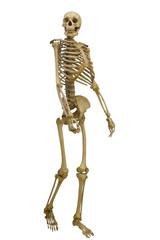 walking human skeleton on white