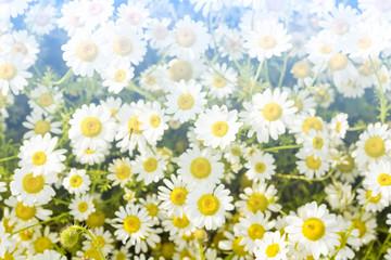 Wild white flowers field in summer