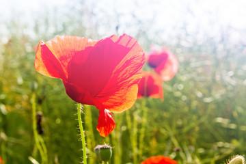 Field of Corn or Red Poppy Flowers Papaver rhoeas in Spring, com