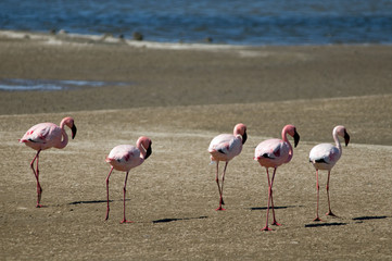 Line of flamingoes