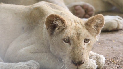 Close up a young white lion resting on ground, HD Clip.