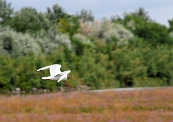 free flying Gull in the natural park