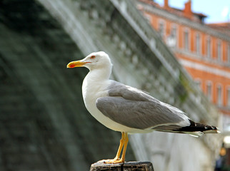 Black-headed Gull and the rialto bridge in Venice