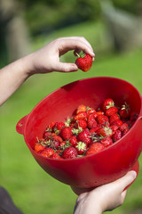 Closeup on organic strawberries freshly harvesting by young wome