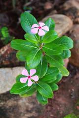 pink vinca flower