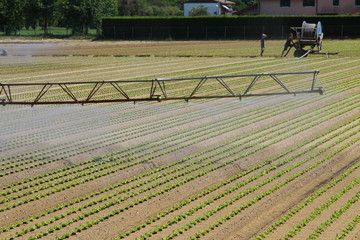 intensive irrigation in vegetable field in summer