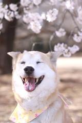目を閉じて笑っている犬と満開の桜