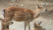 Chital, Cheetal, Spotted or Axis deer resting on ground, HD Clip