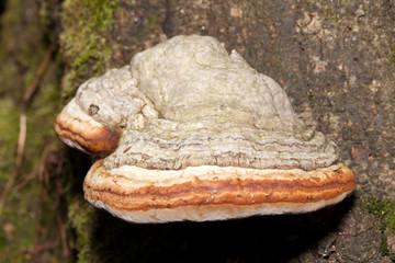Closeup of tinder fungus on tree trunk
