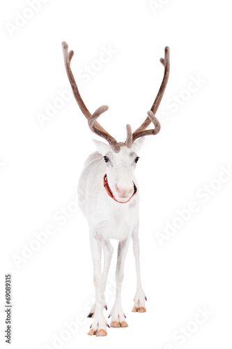 Poster Hert Reindeer or caribou, on the white background