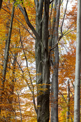 silver-beech tree trunks against the dry leaves