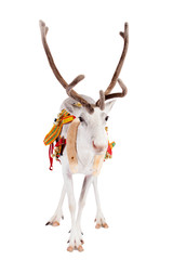 Reindeer or caribou wearing traditional harness