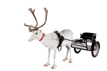 Reindeer or caribou wearing europian harness