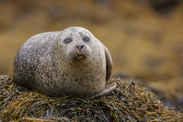 Grey seal, staring at the camera
