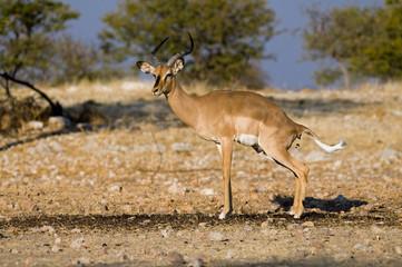 Impala defecating