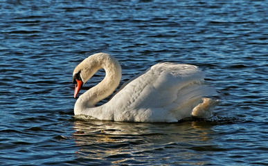 Swan on the lake.