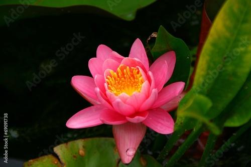 canvas print picture fleur de lotus