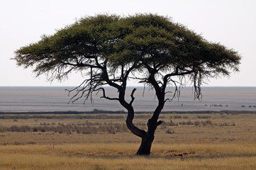 African landscape with acacia tree